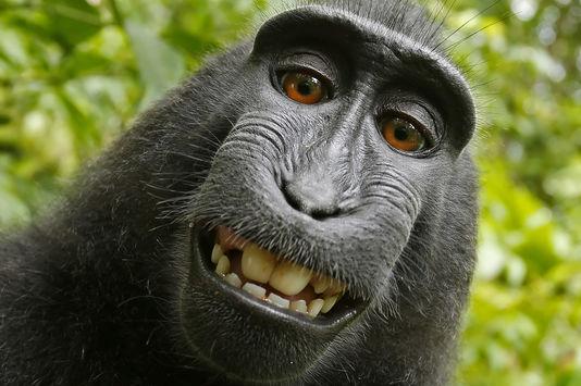 4866970_7_5301_l-un-des-selfies-du-macaque-indonesien_5139216cc5afdf42f1401777f15490ee